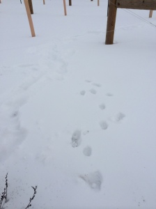 Deer tracks in vineyard.
