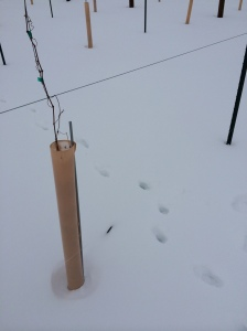 Another view of deer tracks in our vineyard.
